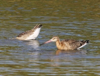 Black Tailed Godwits-0023