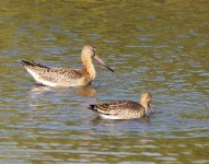Black Tailed Godwits-0028
