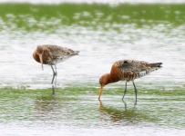Black Tailed Godwits_4838_RT16