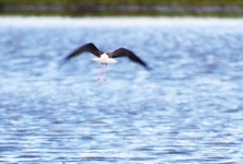 Black Winged Stilt flies off_0281