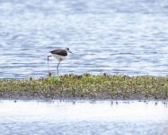 Black Winged Stilt - male_0285