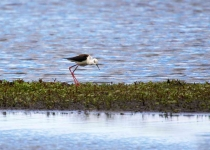 Black Winged Stilt_0251