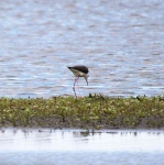 Black Winged Stilt_0254
