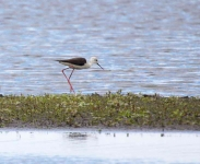 Black Winged Stilt_0255