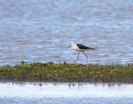 Black Winged Stilt_0257