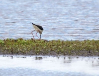 Black Winged Stilt_0258