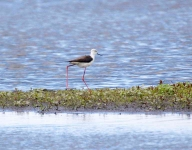 Black Winged Stilt_0275