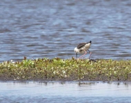 Black Winged Stilt_0280