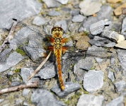 Black dragonfly-female-3053