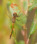Black dragonfly-juvenile-3022