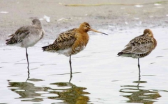 Black tail Godwit family resting_4227