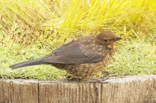 Blackbird chick-_P6E3466-1