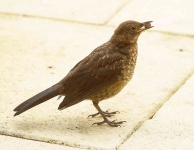 Blackbird chick-_P6E3474-1