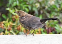 Blackbird chick_P6E3439-1