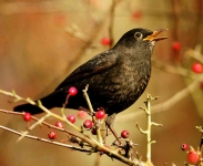 Blackbird singing - 3276