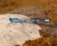Blue Damselfly-2788