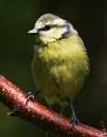 Blue Tit-IC2F0487