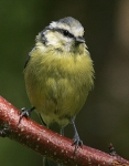 Blue Tit-IC2F0488