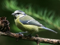 Blue Tit-IC2F0955
