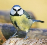 Blue Tit-IC2F3169