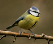 Blue Tit-IC2F4854