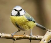 Blue Tit-IC2F4897