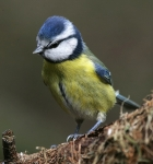 Blue Tit-IC2F5453