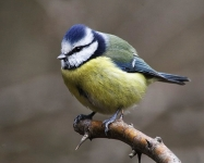 Blue Tit-IC2F6556