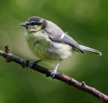 Blue Tit chick_8740_RT16