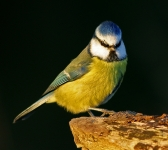 Blue Tit - evening light_2708