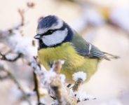 Blue Tit-snow-IC2F4498