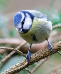 Blue Tit_2485_RT16