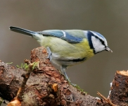 Blue Tit_3153_RT16
