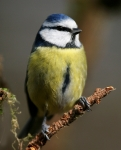 Blue Tit+++_3282_RT16