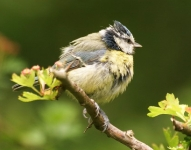 Blue Tit_Punk hair - 7765