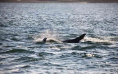 Bottlenose Dolphin-chase on - 9533
