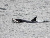 Bottlenose Dolphin with Salmon-9128