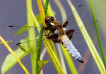 Broad Bodied Dragonfly-2228