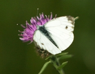 Butterfly-Large White - 0378