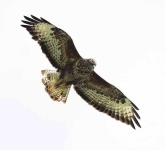 Buzzard Searching - 5590