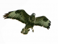 Buzzard attacking - 1581