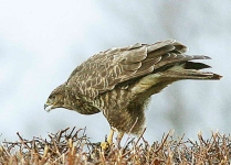 Buzzard feeding - 1782