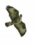 Buzzard looking round - 3213