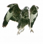 Buzzard starting attack - 1578