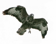 Buzzard starting attack - 1580