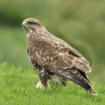 Buzzard with food - 5250