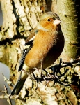 Chaffinch Cock - 0059