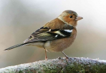 Chaffinch Cock - 1456