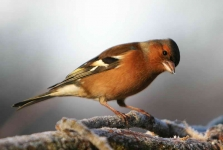 Chaffinch Cock - 1960
