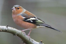 Chaffinch Cock - 4067
